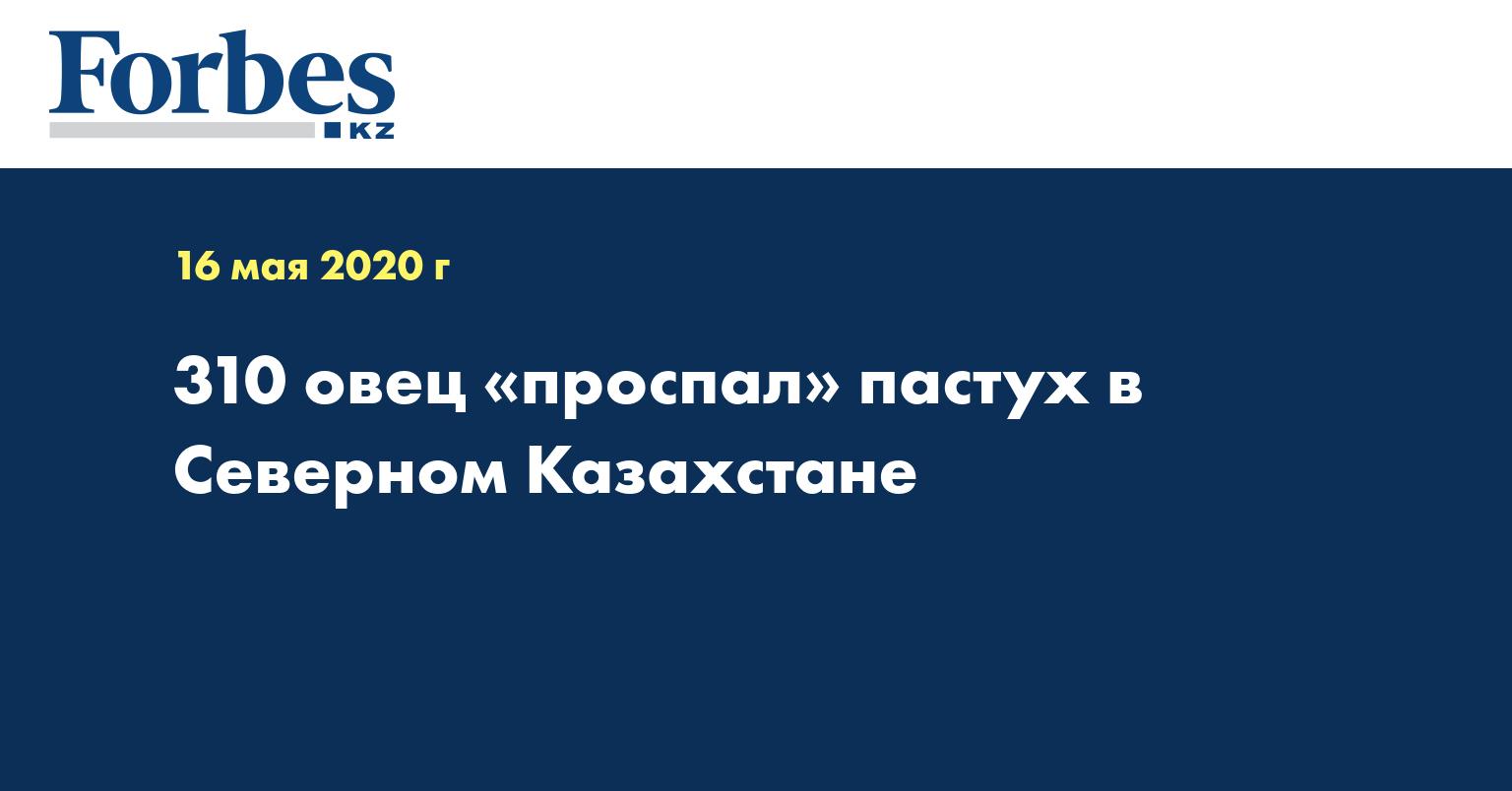 310 овец «проспал» пастух в Северном Казахстане